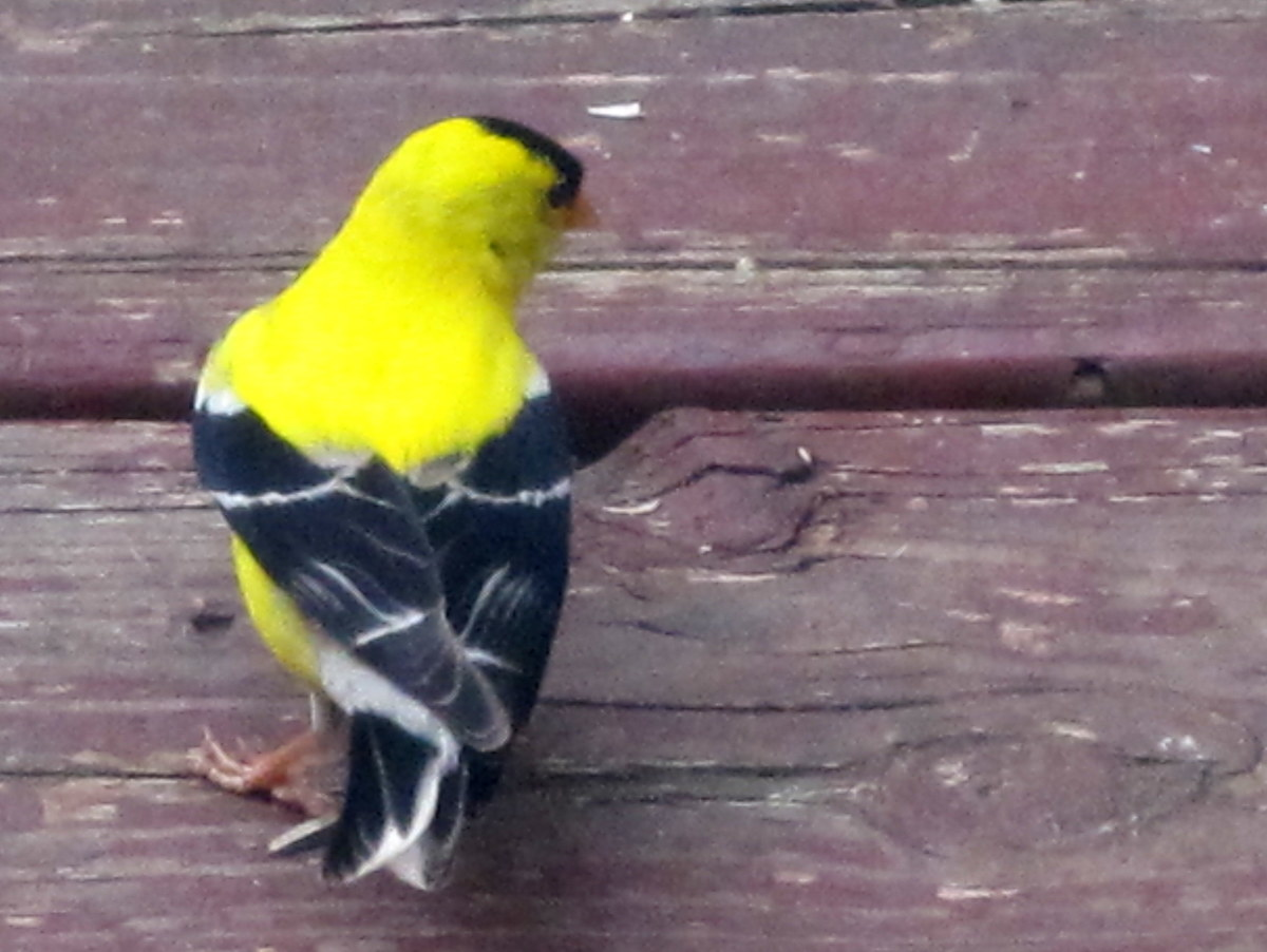 Male American Goldfinch - Back View
