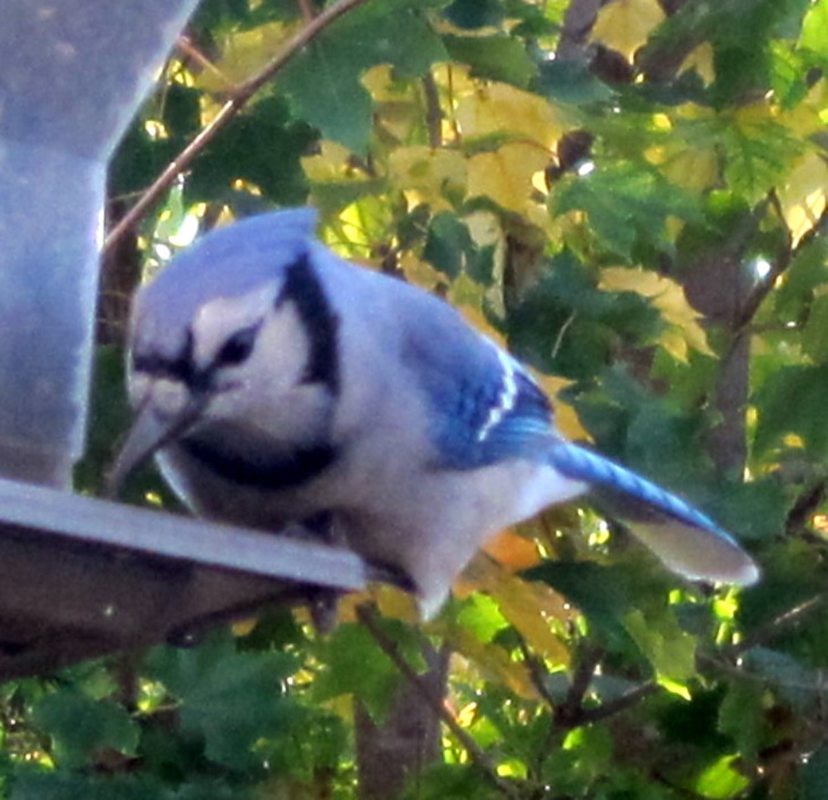 Blue Jay (male)
