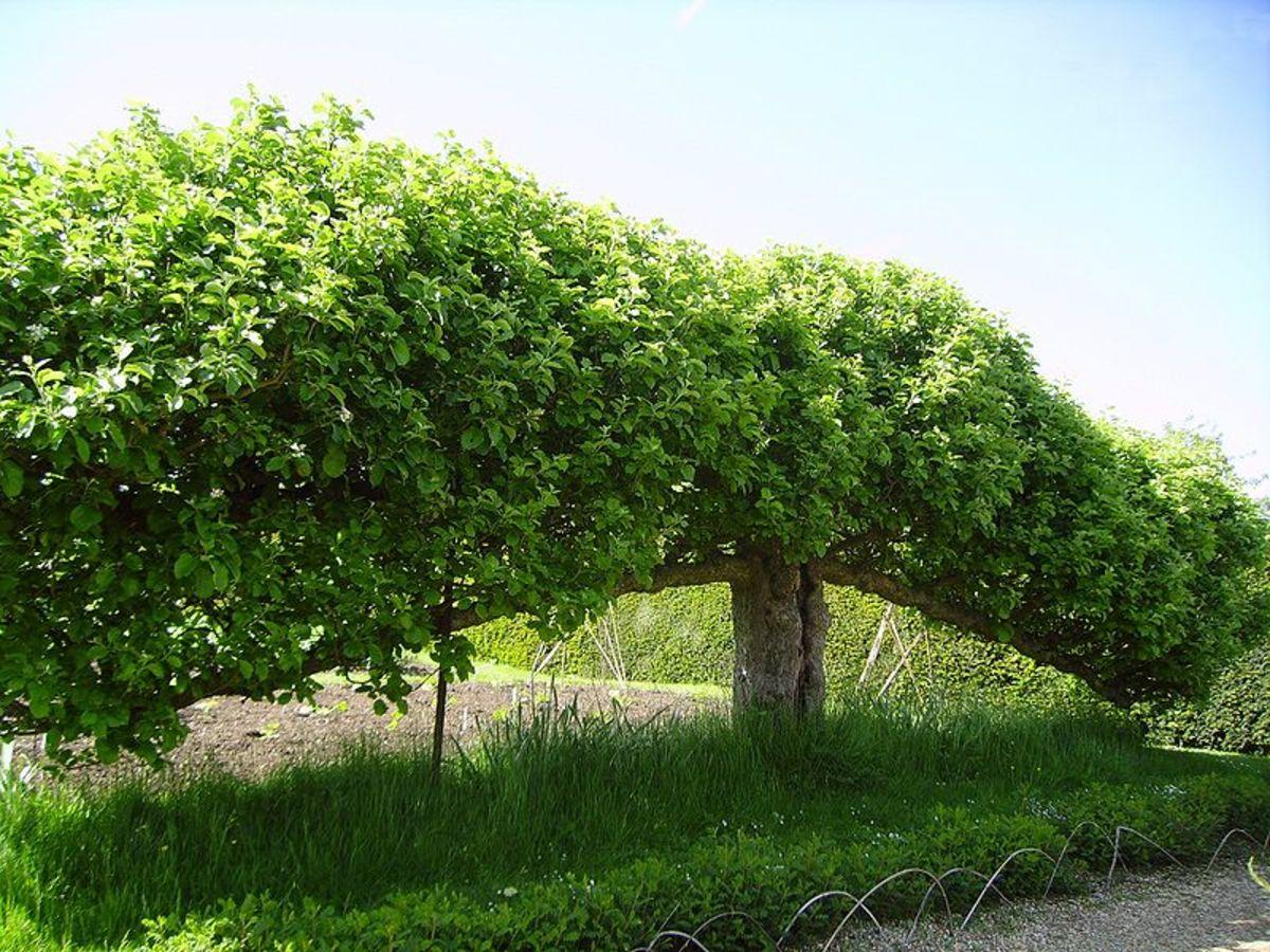 Espaliered Tree