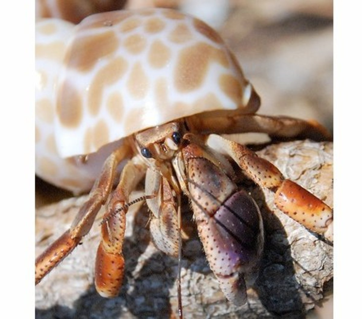 Hermit Crab Species - Types of Hermit Crabs