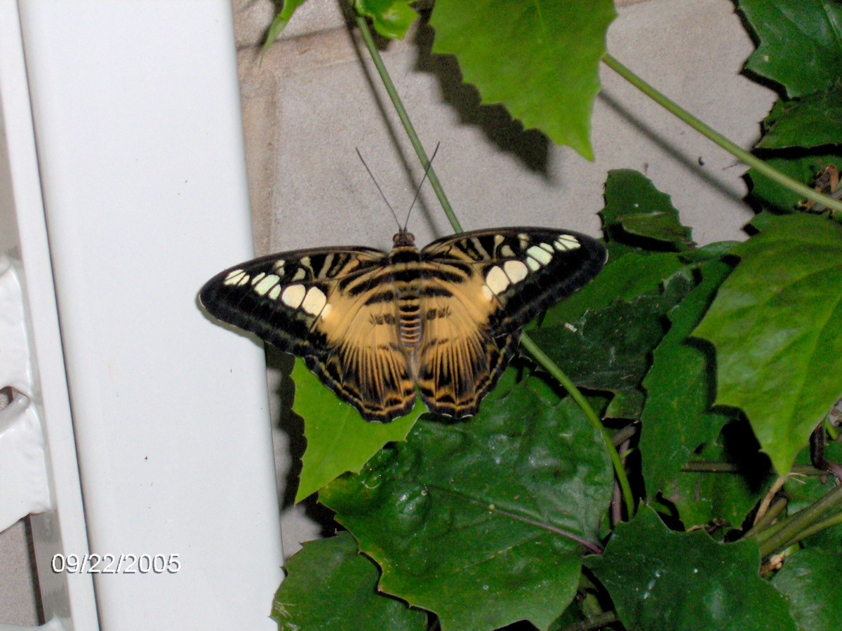 Clipper Butterfly: Parthenos sylvia.  This is the more tiger colored variety of Clipper.