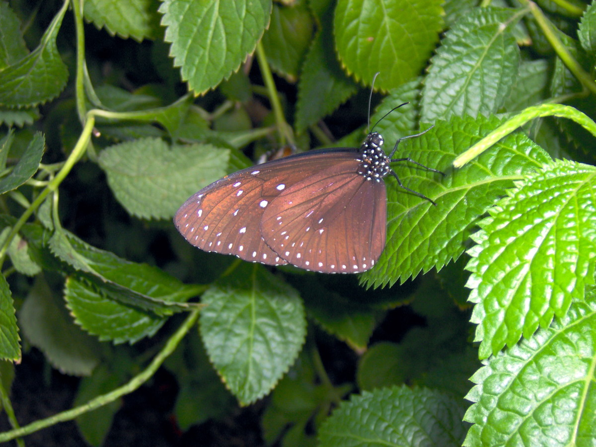 Common Crow Butterfly:  Euploea modesta, from Asia