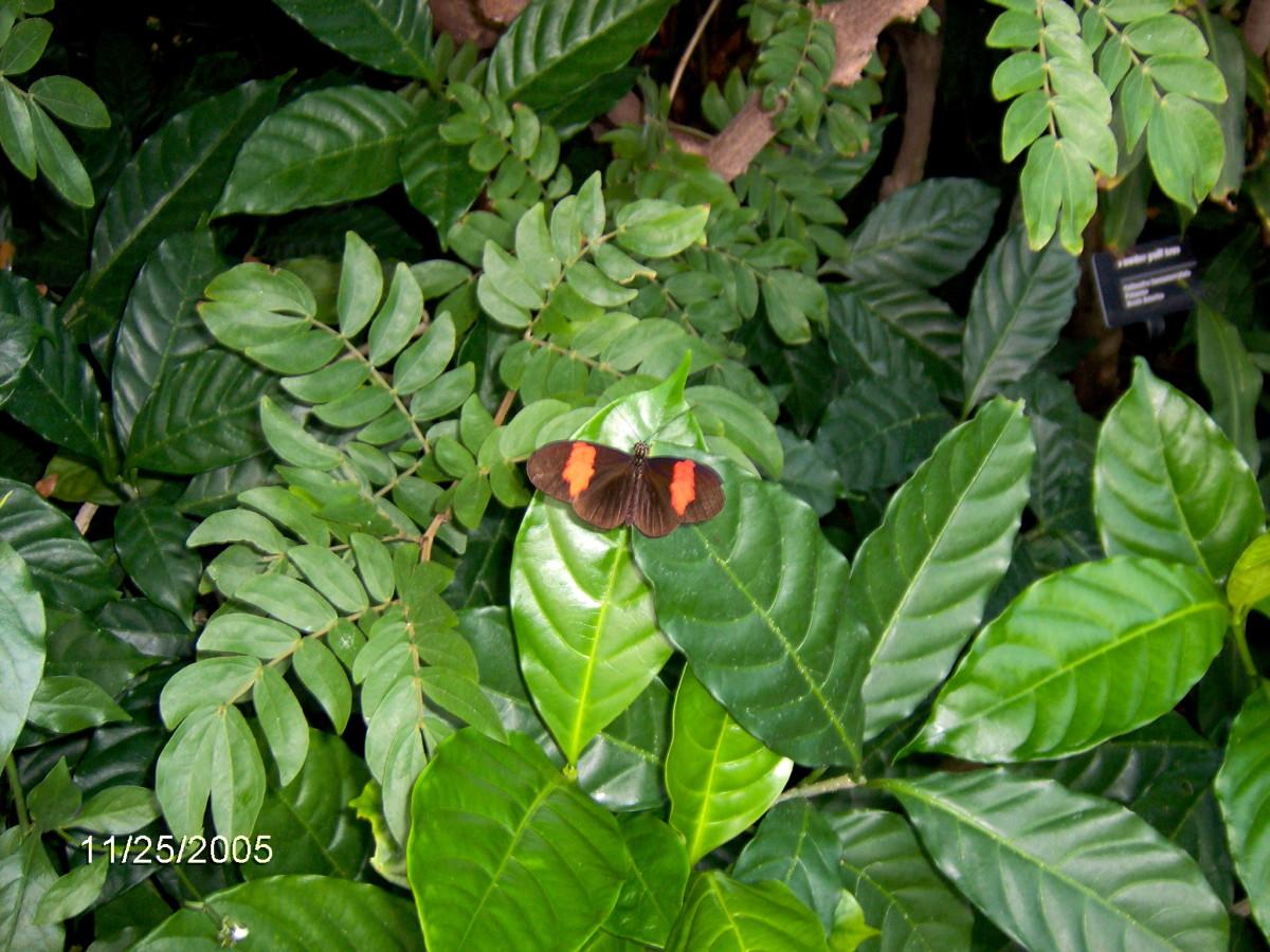 Orange Shoemaker:  Catonephele orites, from Surinam
