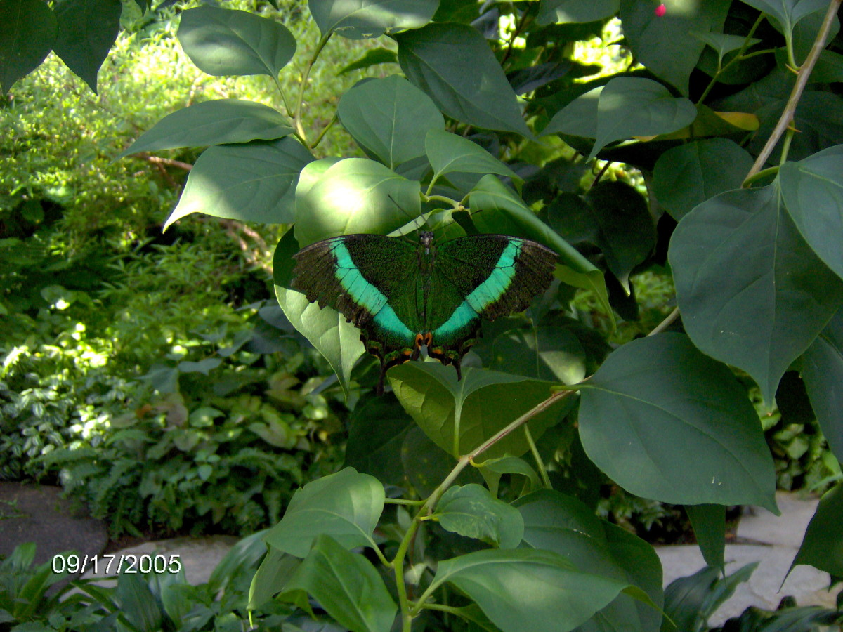 Emerald Swallowtail or Banded Peacock