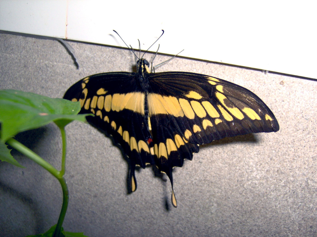 Thoas Swallowtail:  Papilio thoas, from Central and South America