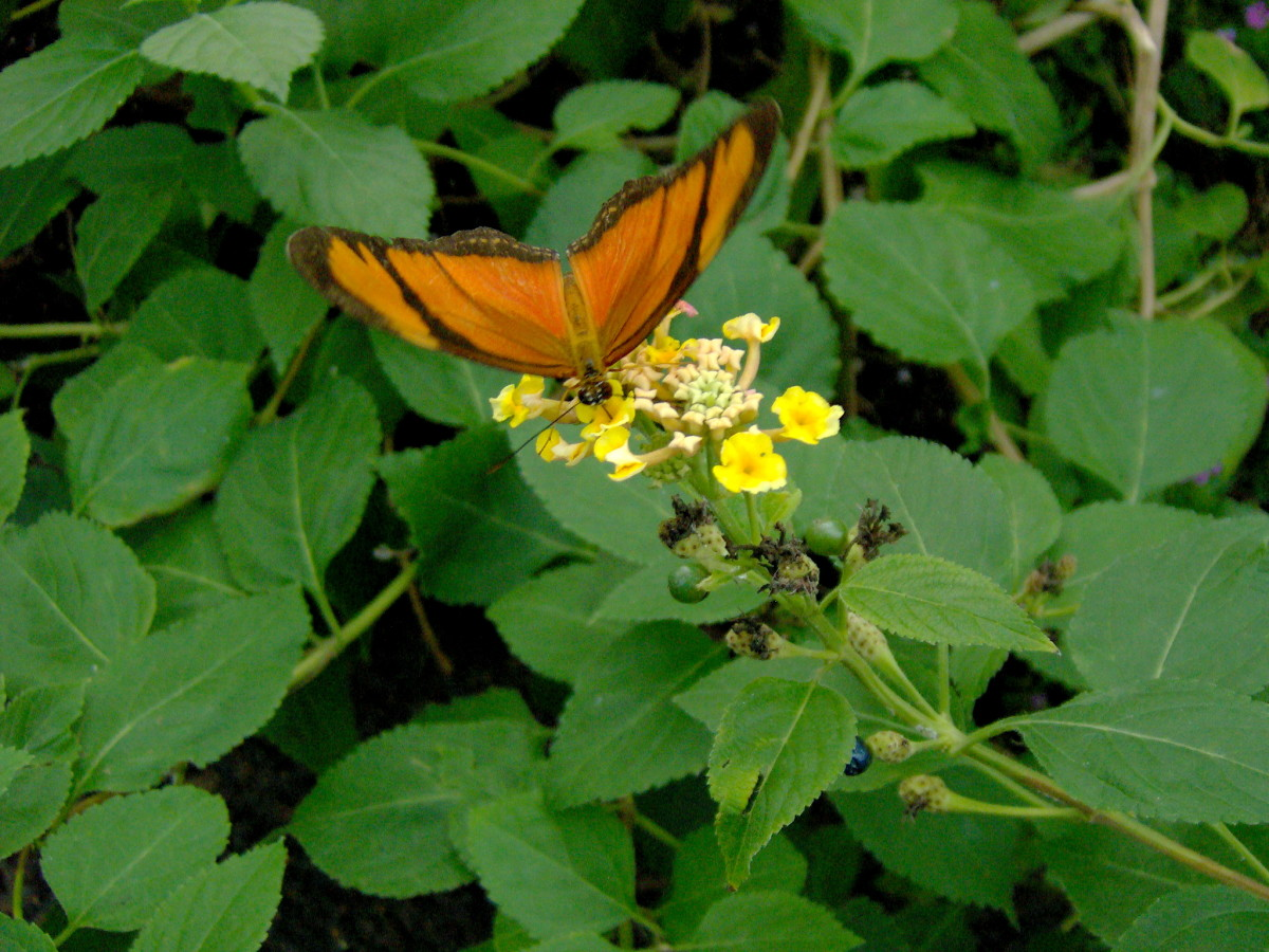 I believe this is an Orange Tiger Butterfly:  Dryadula phaetusa, from El Salvador.  If not it may be an Orange Julia:  Dryas Julia, from Costa Rica.