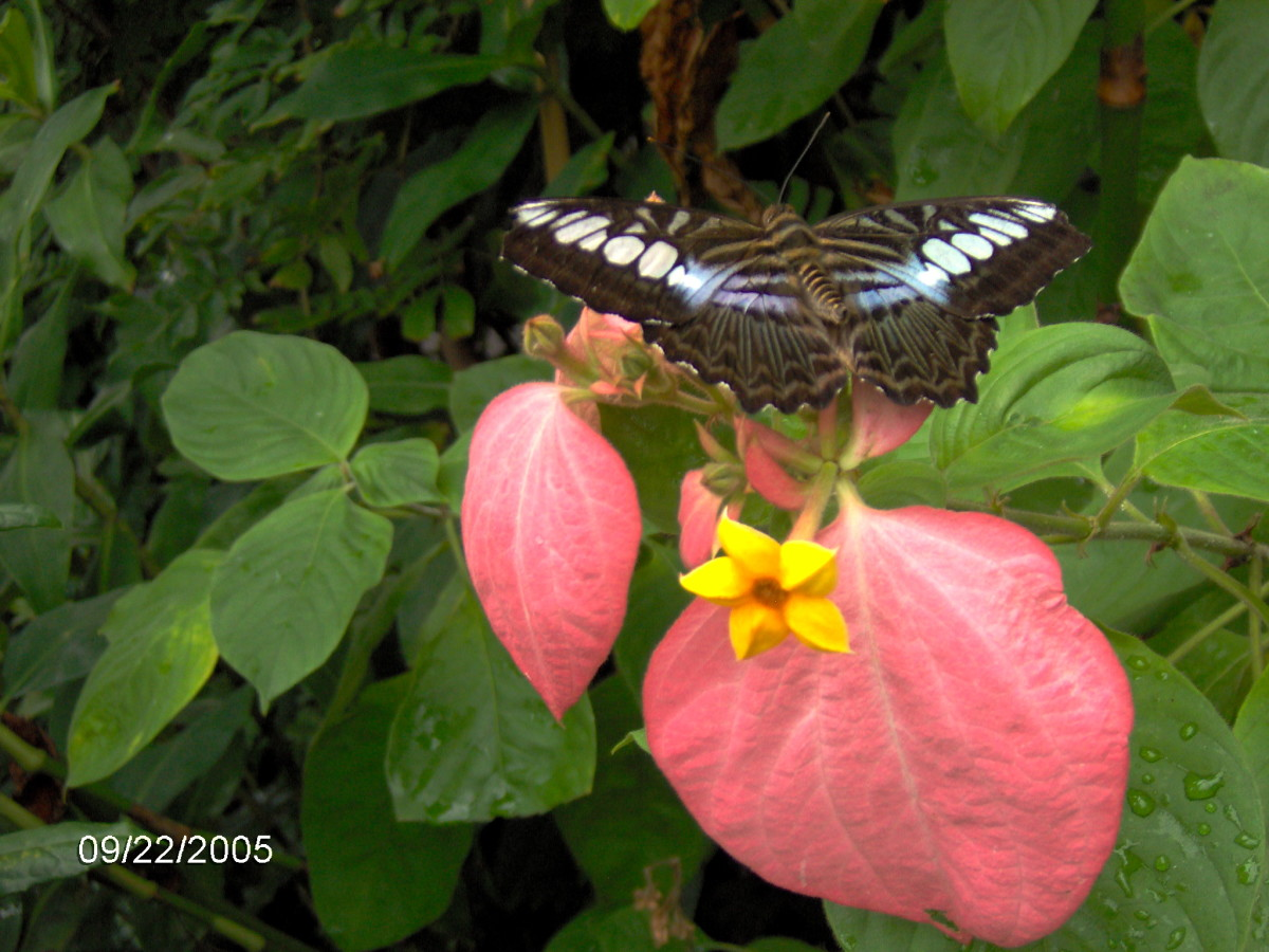Clipper Butterfly:  Parthenos sylvia, from Southeast Asia