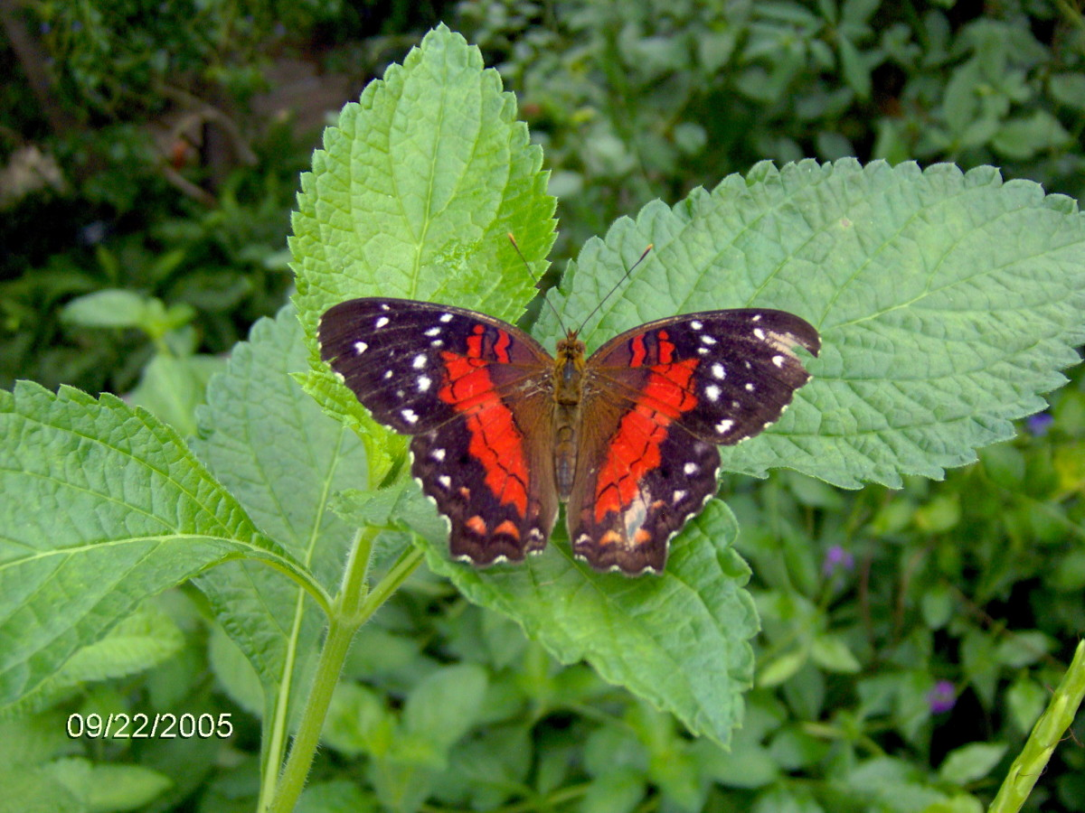 The Scarlet Peacock - Anartia Amathea.  This is another time I was lucky enough to see one in person, it made my day!