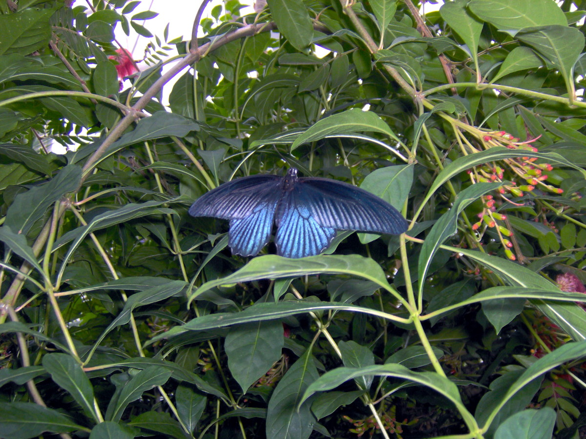 The Great Mormon Butterfly:  Papillo memnon, from Southeast Asia (Need to double check this, and verify for sure.)