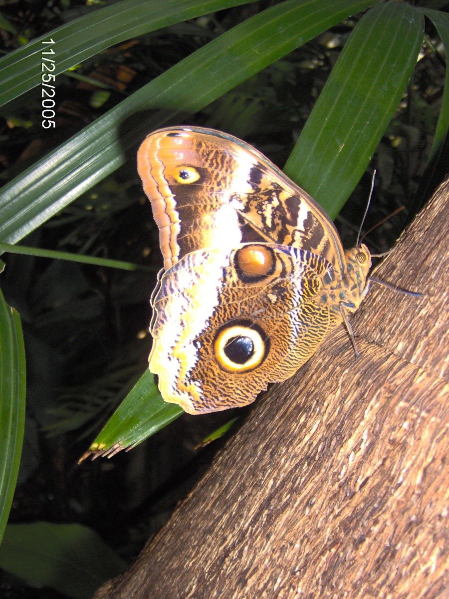 Owl Butterfly:  Cailigo memnon, from Central and South America