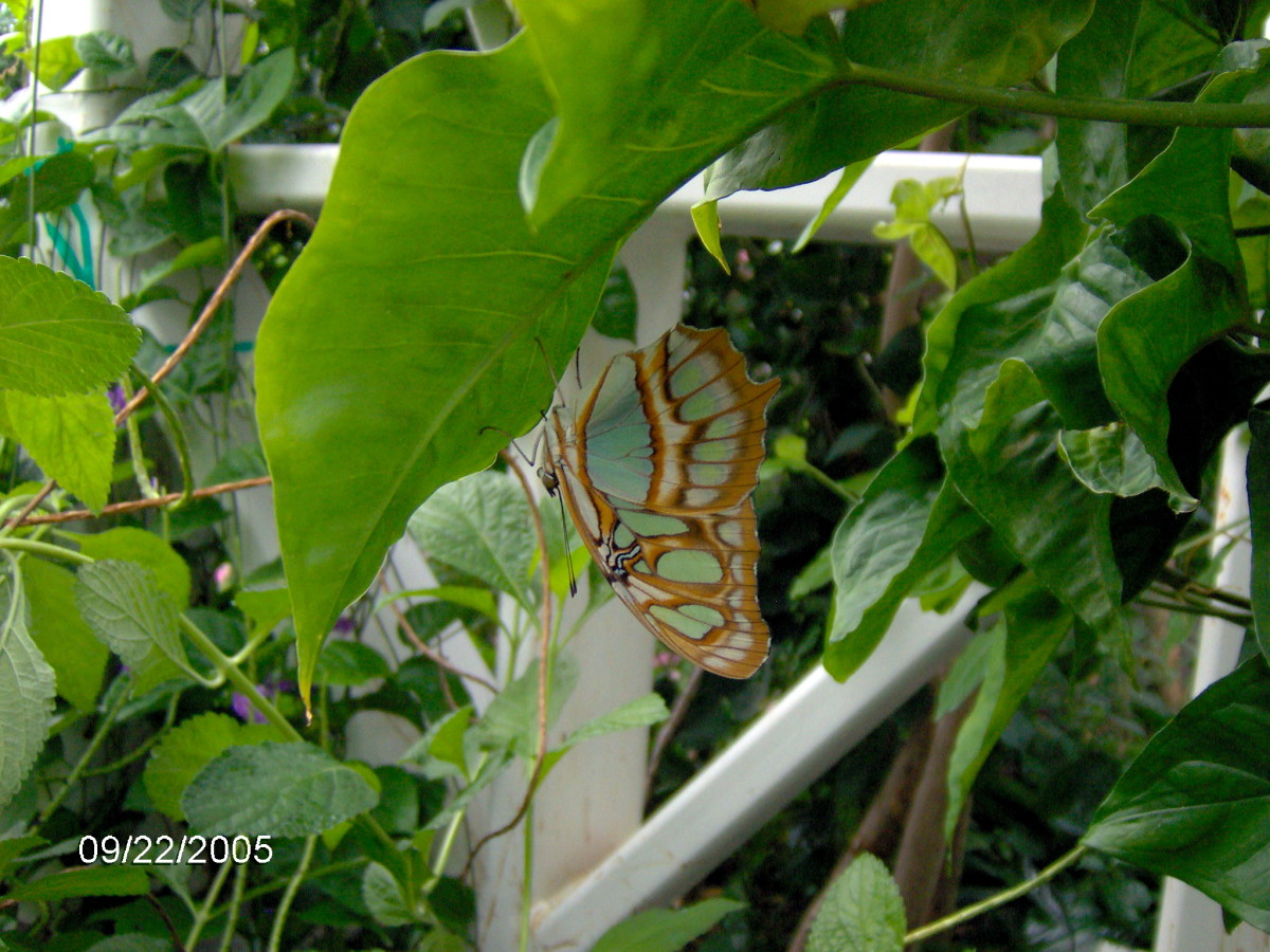 The Malachite:  Siproeta stelenes, found in Costa Rica