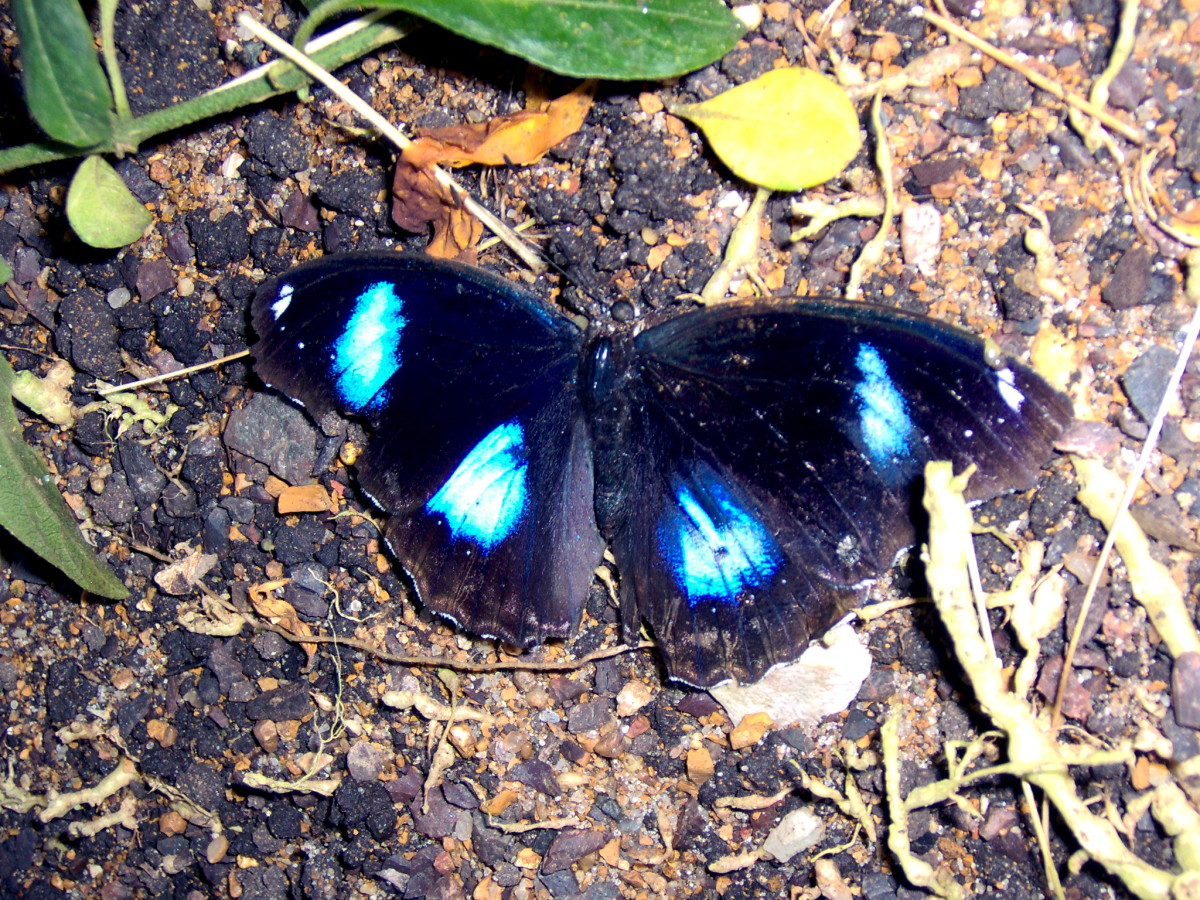 The Great Egg Fly Butterfly:  Hypolimnas bolina, from Malaysia