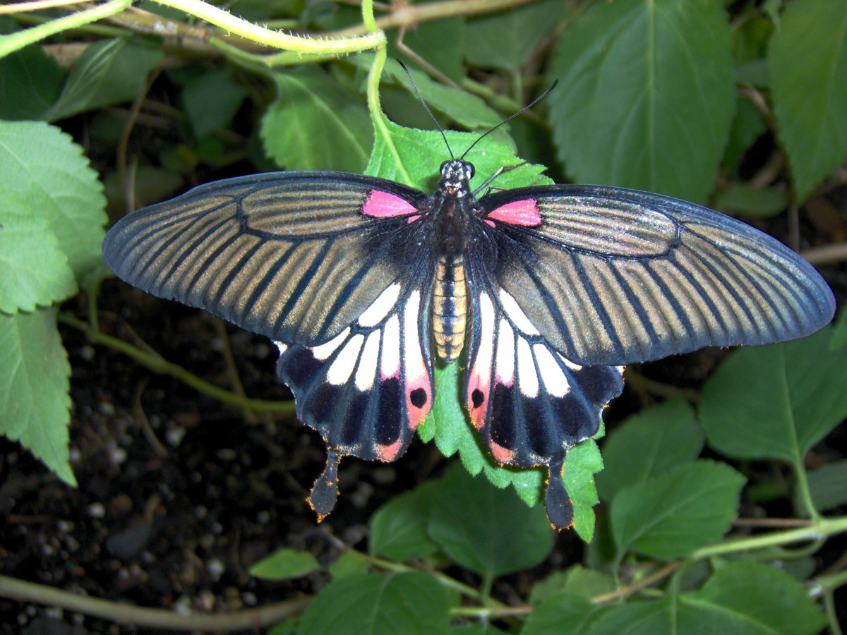 Common Mormon Butterfly:  Papilio polytes, from Southeast Asia