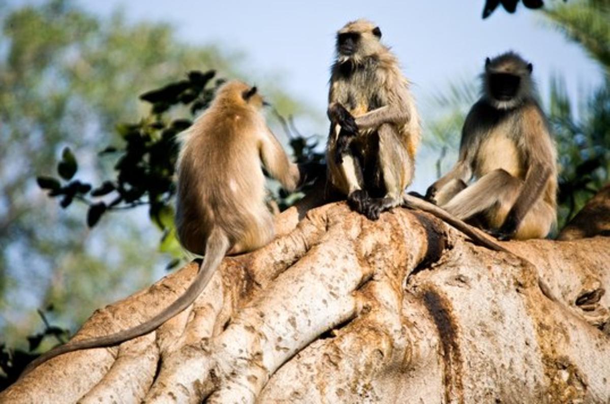 Gray Langur Monkeys on a Tree