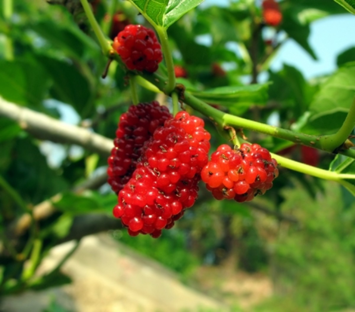 Growing and Harvesting Mulberries