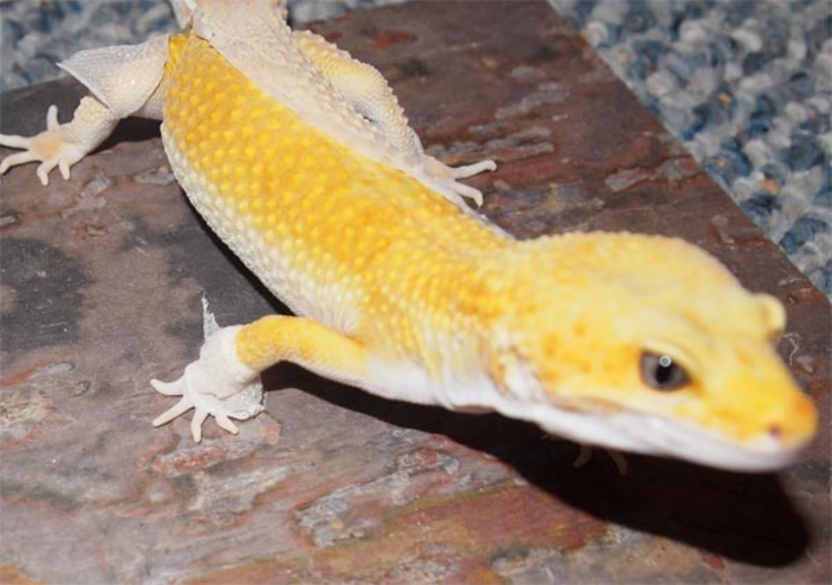 gecko-didnt-shed