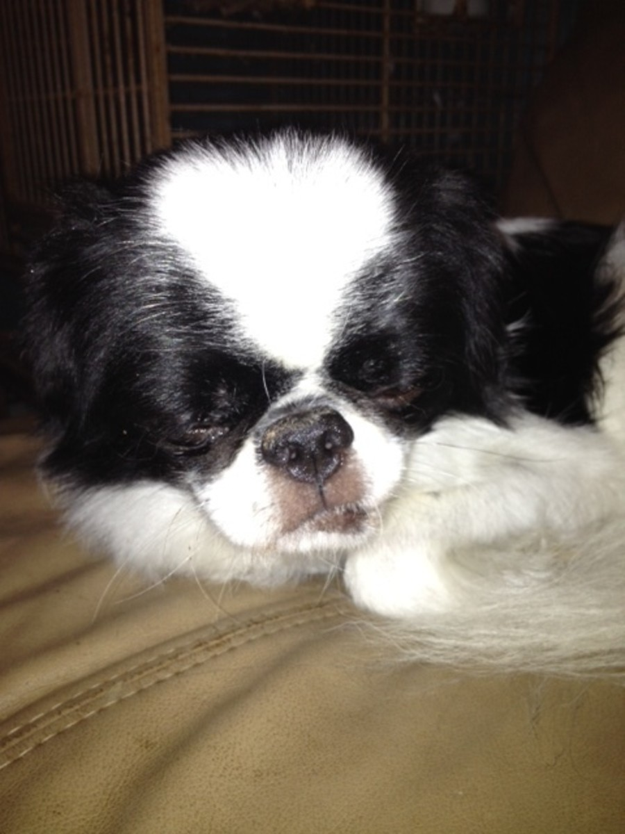 Floyd (a  Japanese Chin) is small enough to fit anywhere.