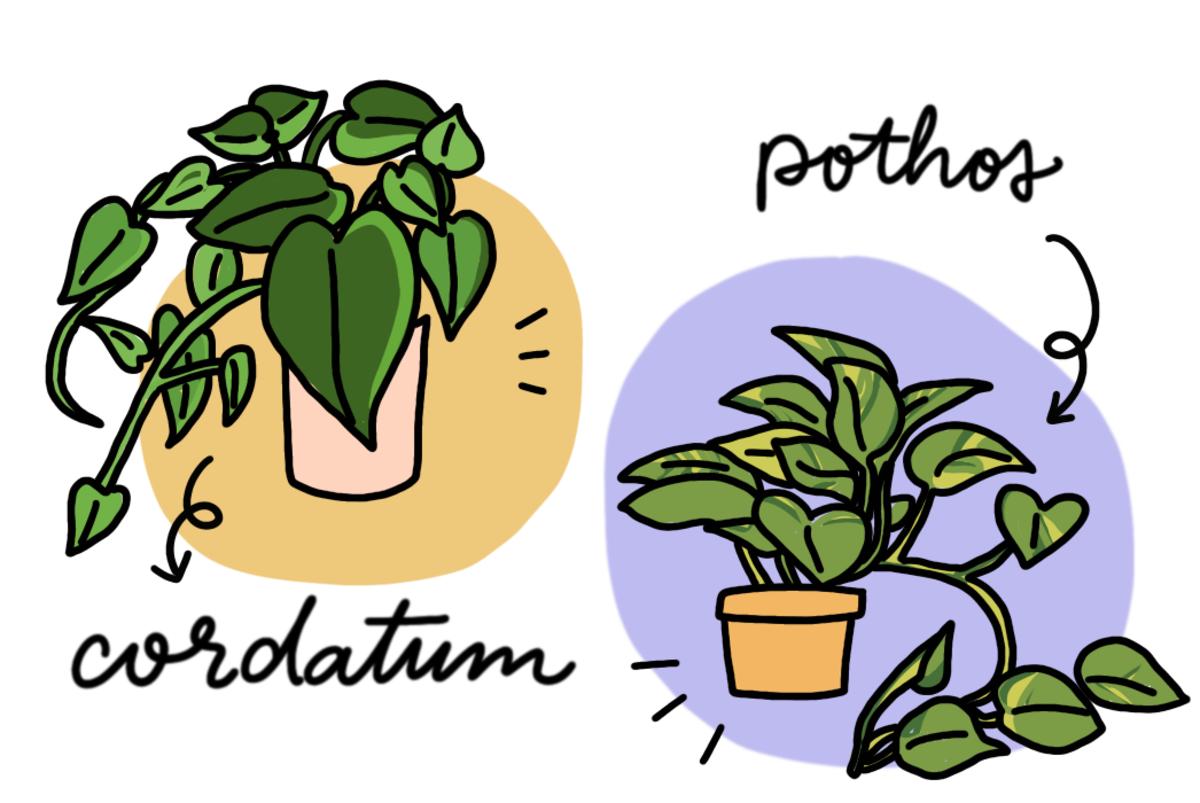 Cordatum Versus Pothos