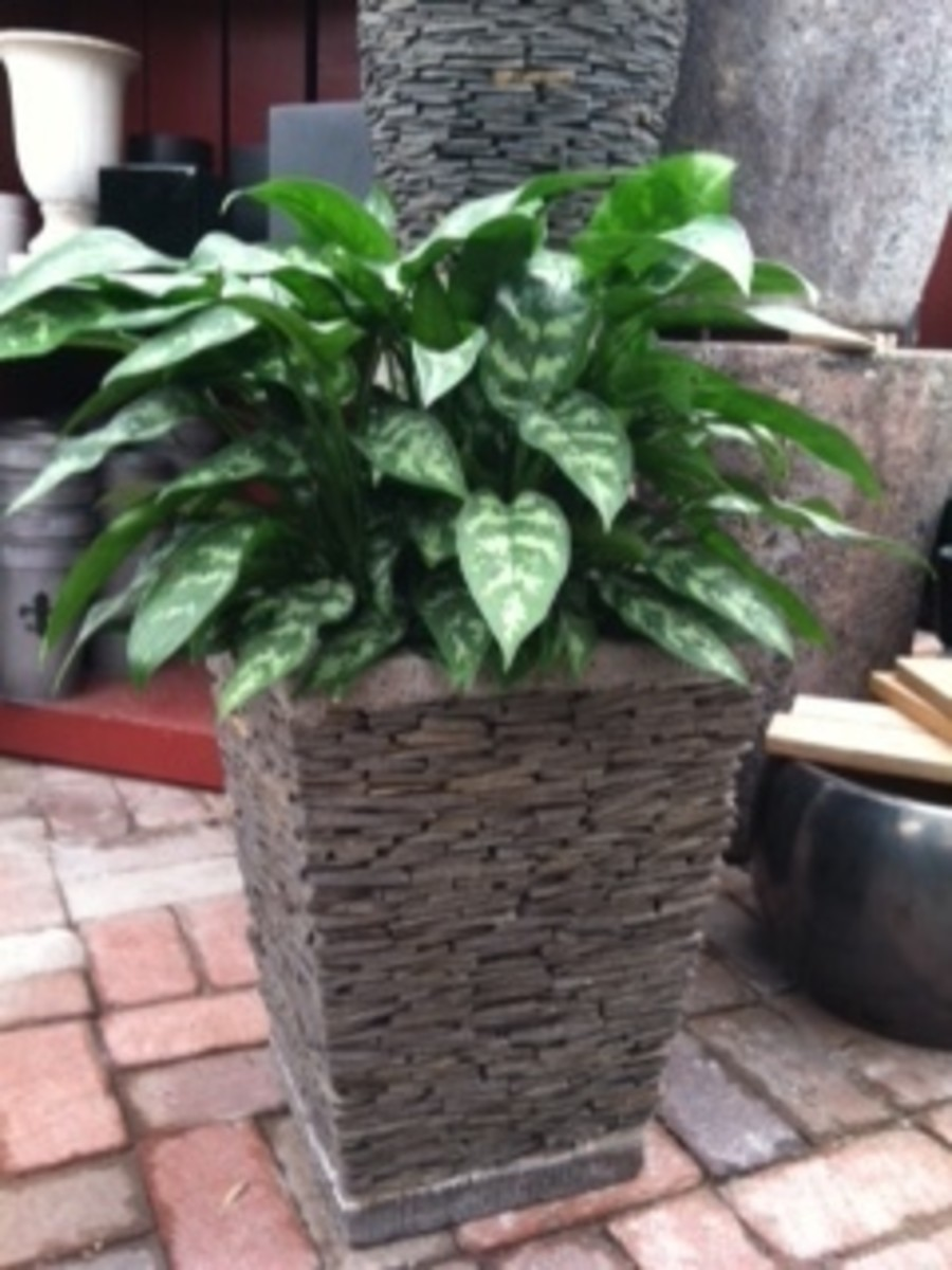 care-for-aglaonema-chinese-evergreen-ag-aglo