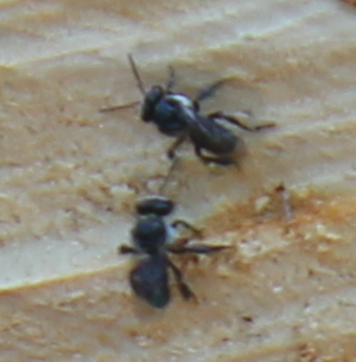 Australian Stingless Native Bees