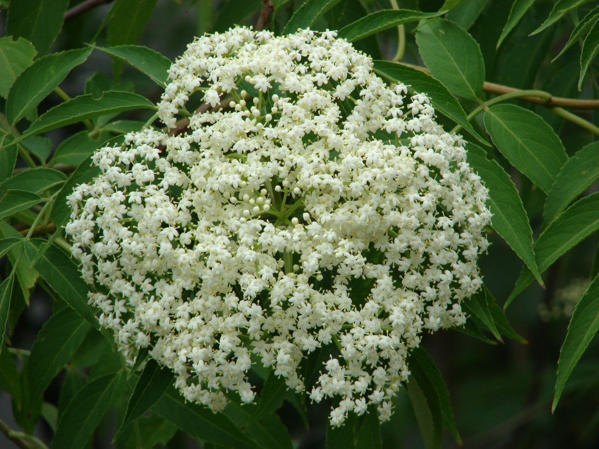 Elderflower Cordial Recipe, Elderflower Wine Recipe