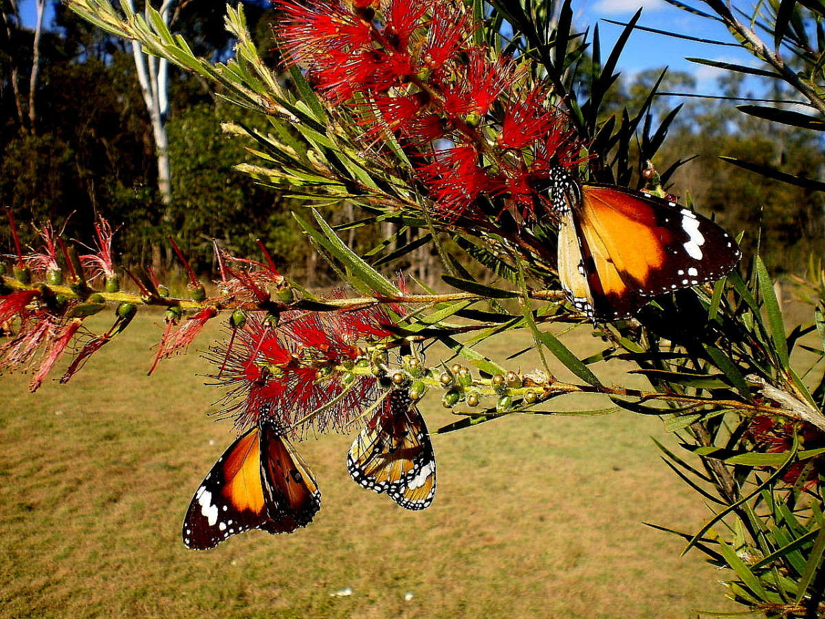 Butterflies on the bottle-brush in my garden.