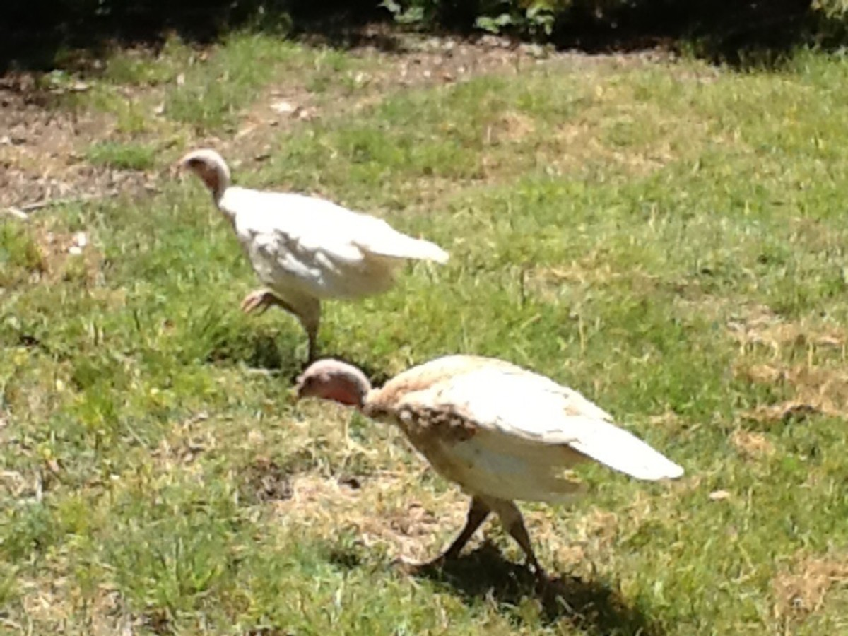 Our two new Turkey chicks, Heckle and Jeckle. Has anyone eaten Turkey eggs?