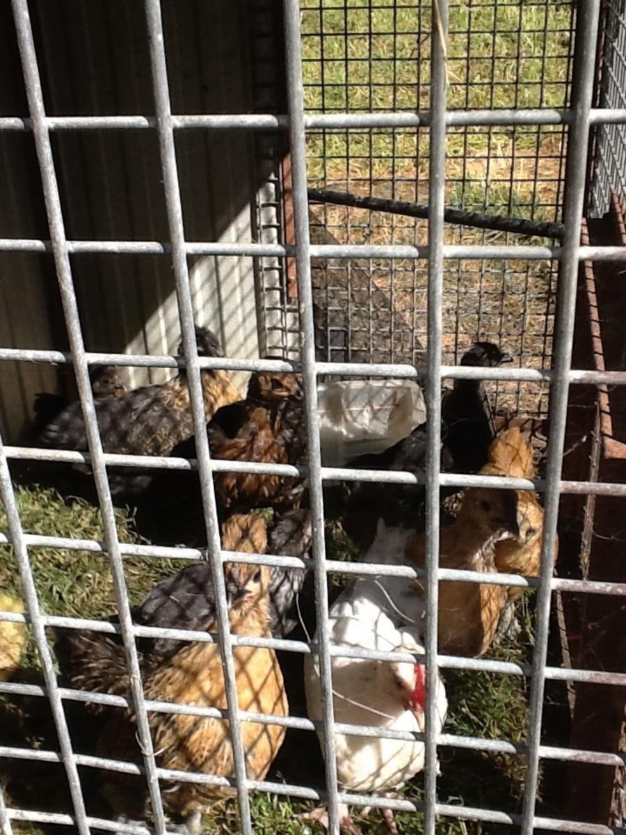 Nine new chickens