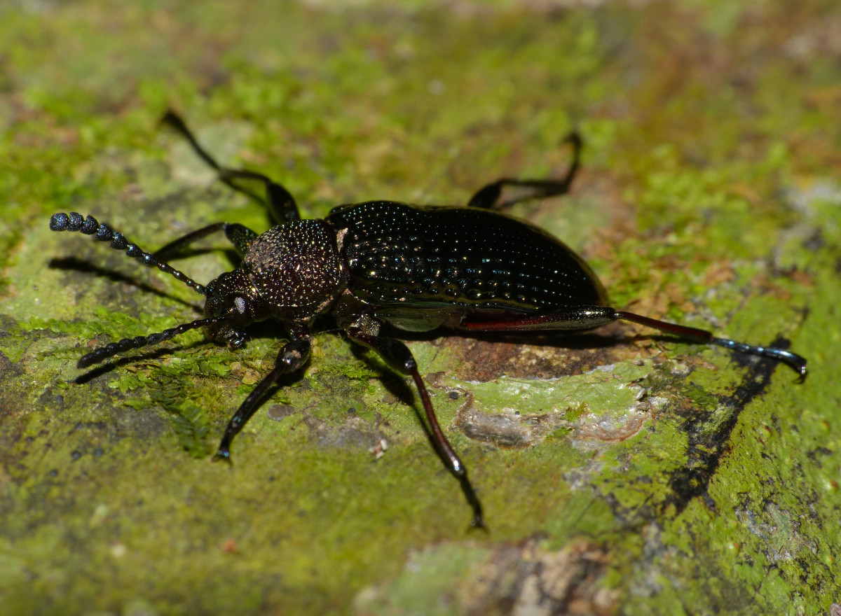 A full grown meal worm is a Darkling Beetle.  Learn something new every day!