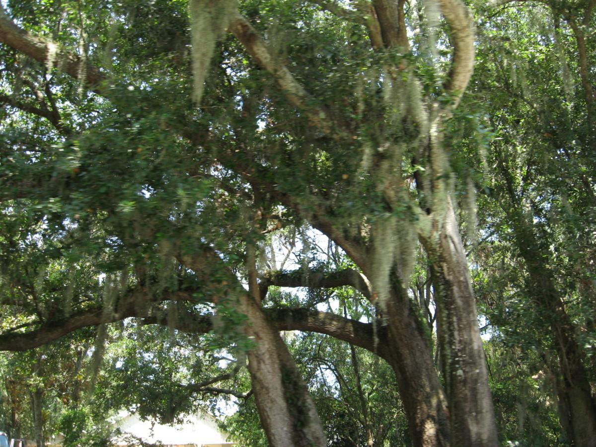 mossy oaks