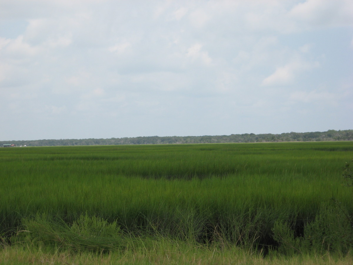a sea of marsh grass