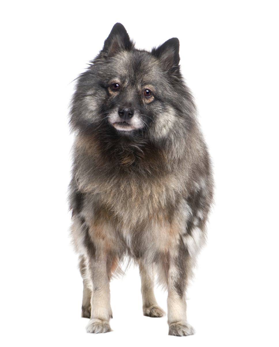 The Keeshond Dog Breed - An Affectionate, Fun Dog that has a LOT of Hair!