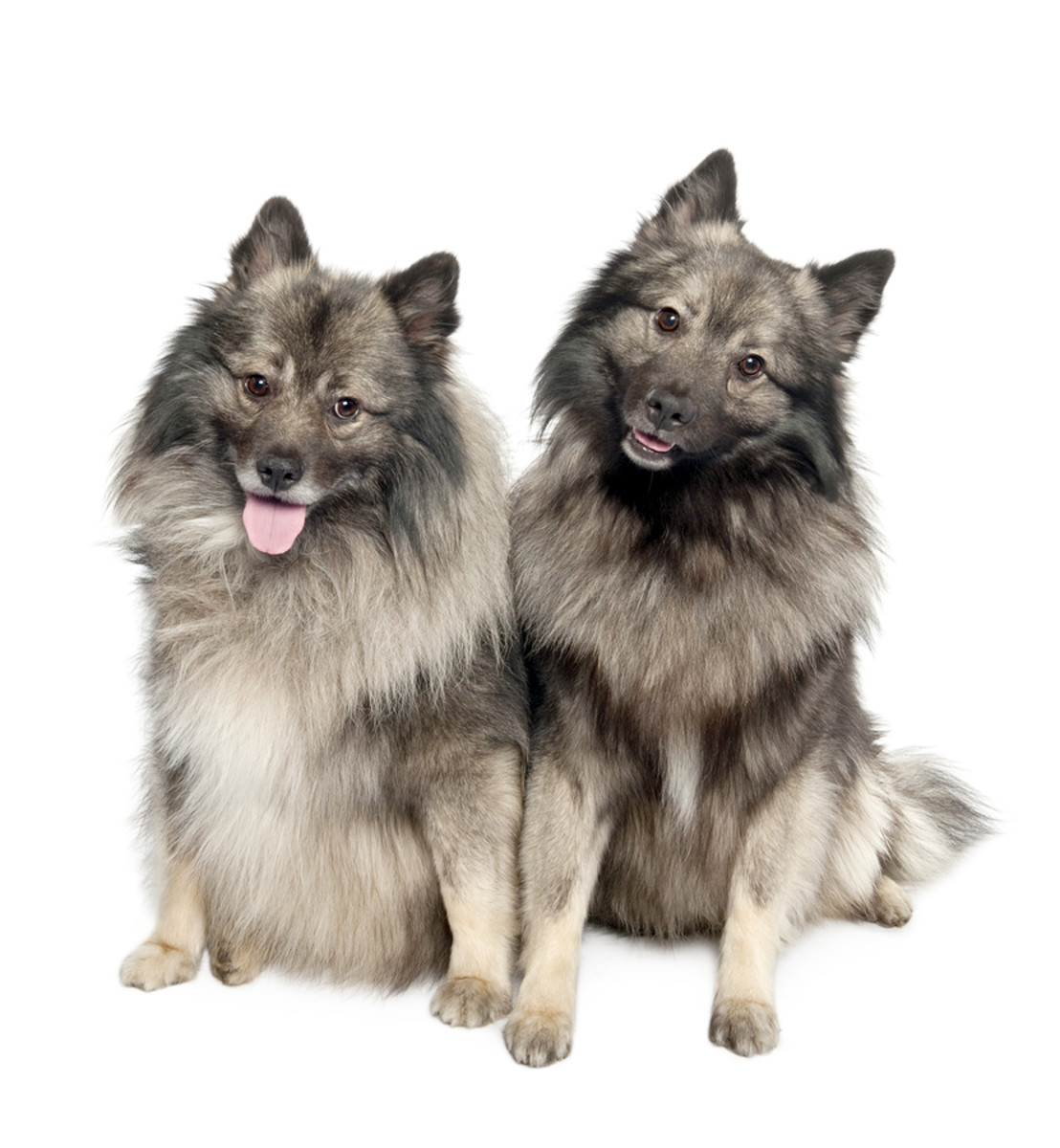 The Keeshond enjoys the company of other dogs!