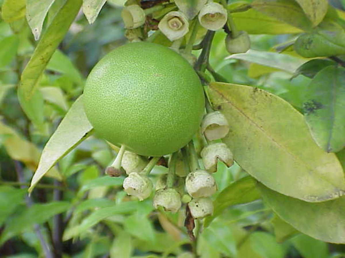 Kurt Stüber photographed this pomelo on October 28, 2004.