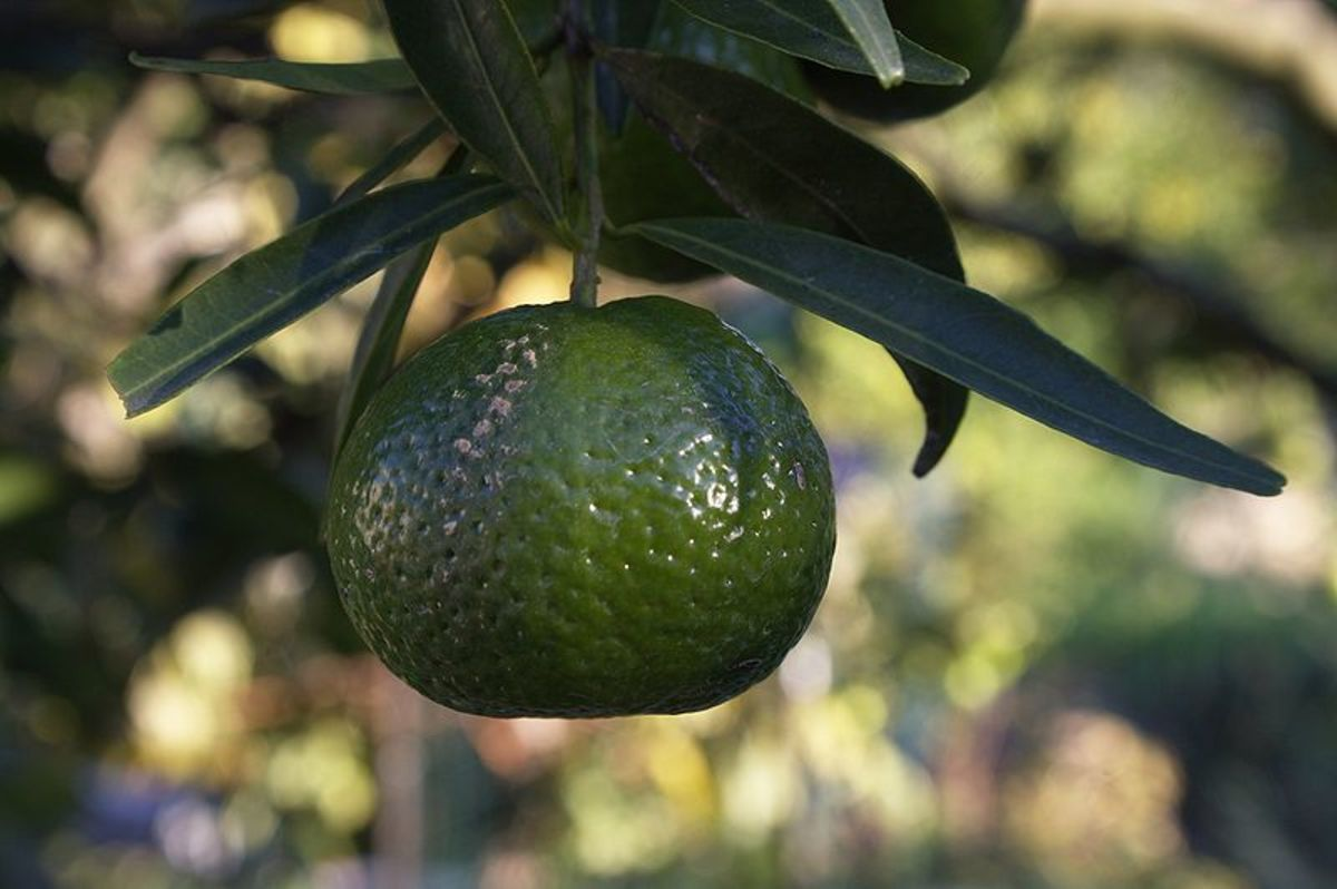 This unripe mandarin was photographed by Marco Bernardini on November 11, 2009.