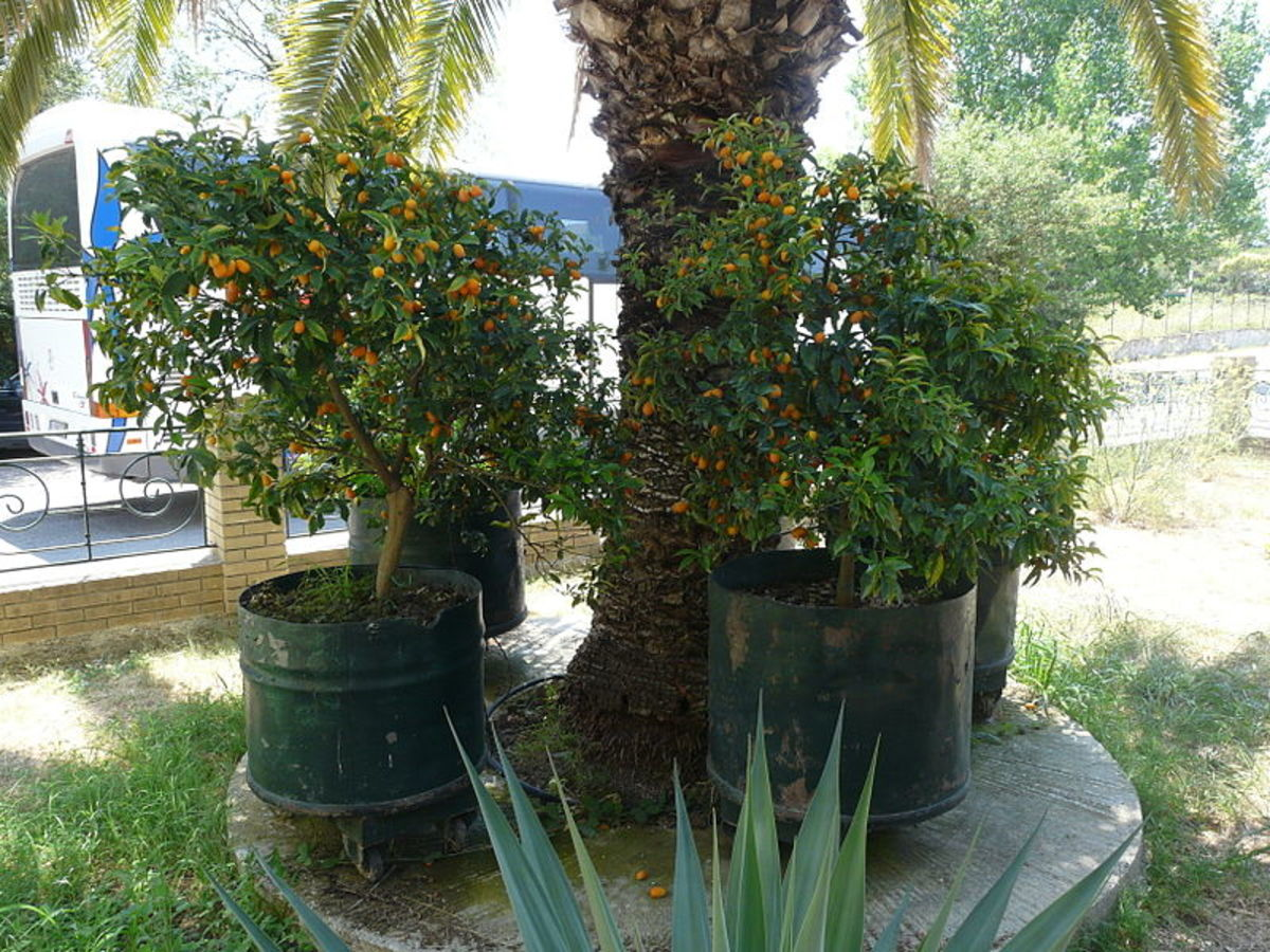 Oval kumquats were photographed in Corfu, Greece by Piotrus on  July 16, 2010.