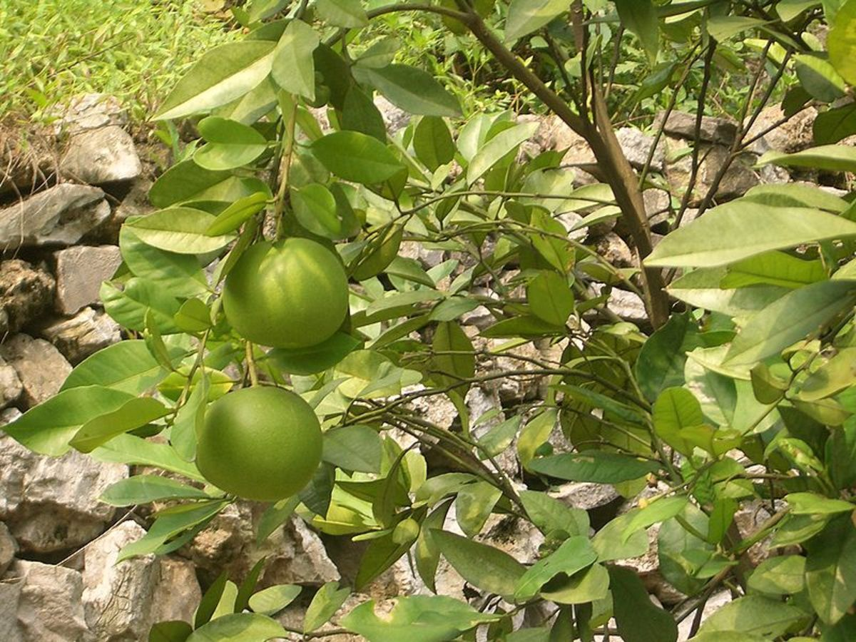 Vmenkov photographed grapefruit ripening in a garden near Hubei (Yiling District, between Yichang and Sandouping), China on July 14, 2009.