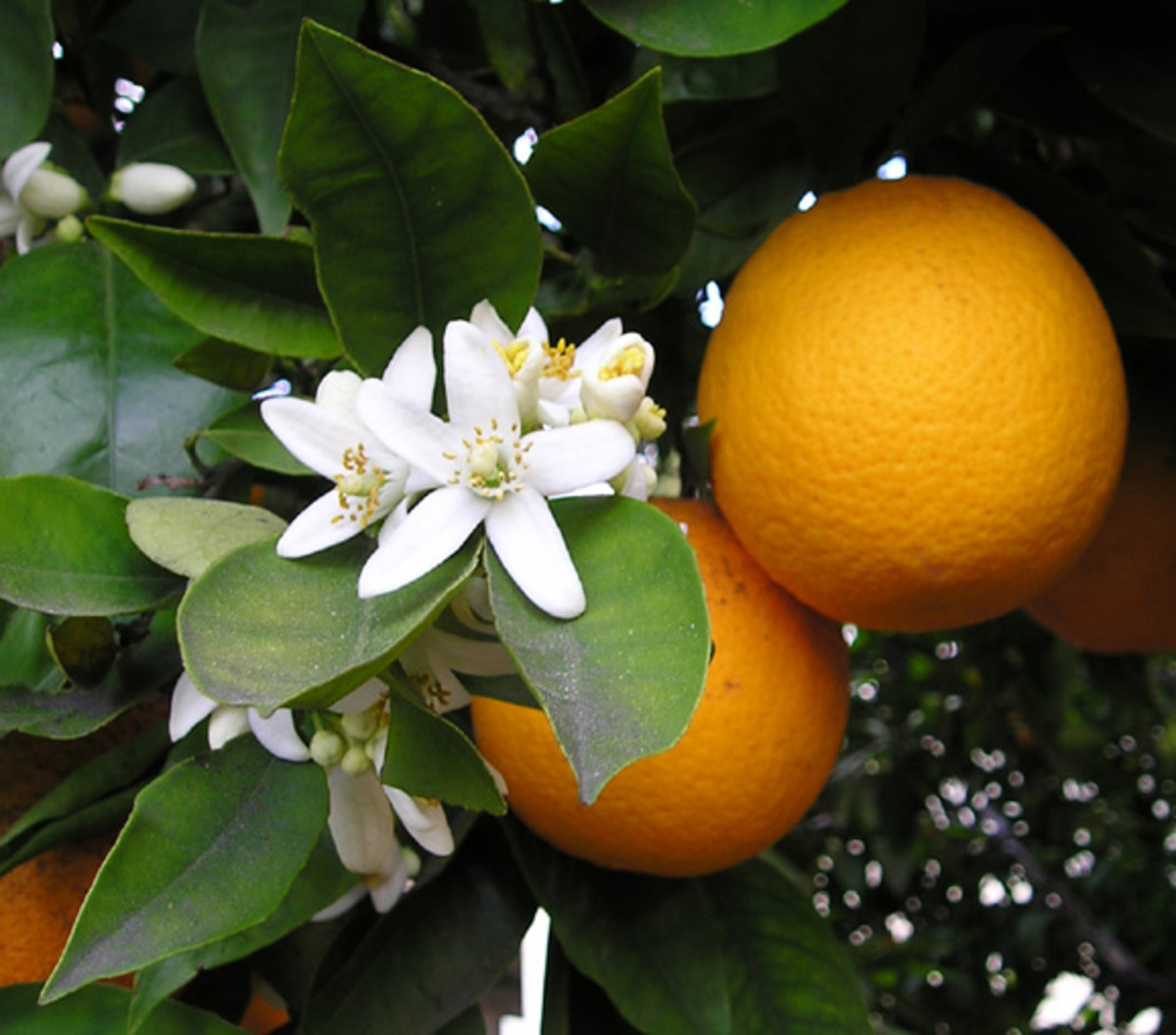 Ellen Levy Finch photographed these orange blossoms and oranges—Citrus sinensis (sweet orange)—on March 23, 2004.
