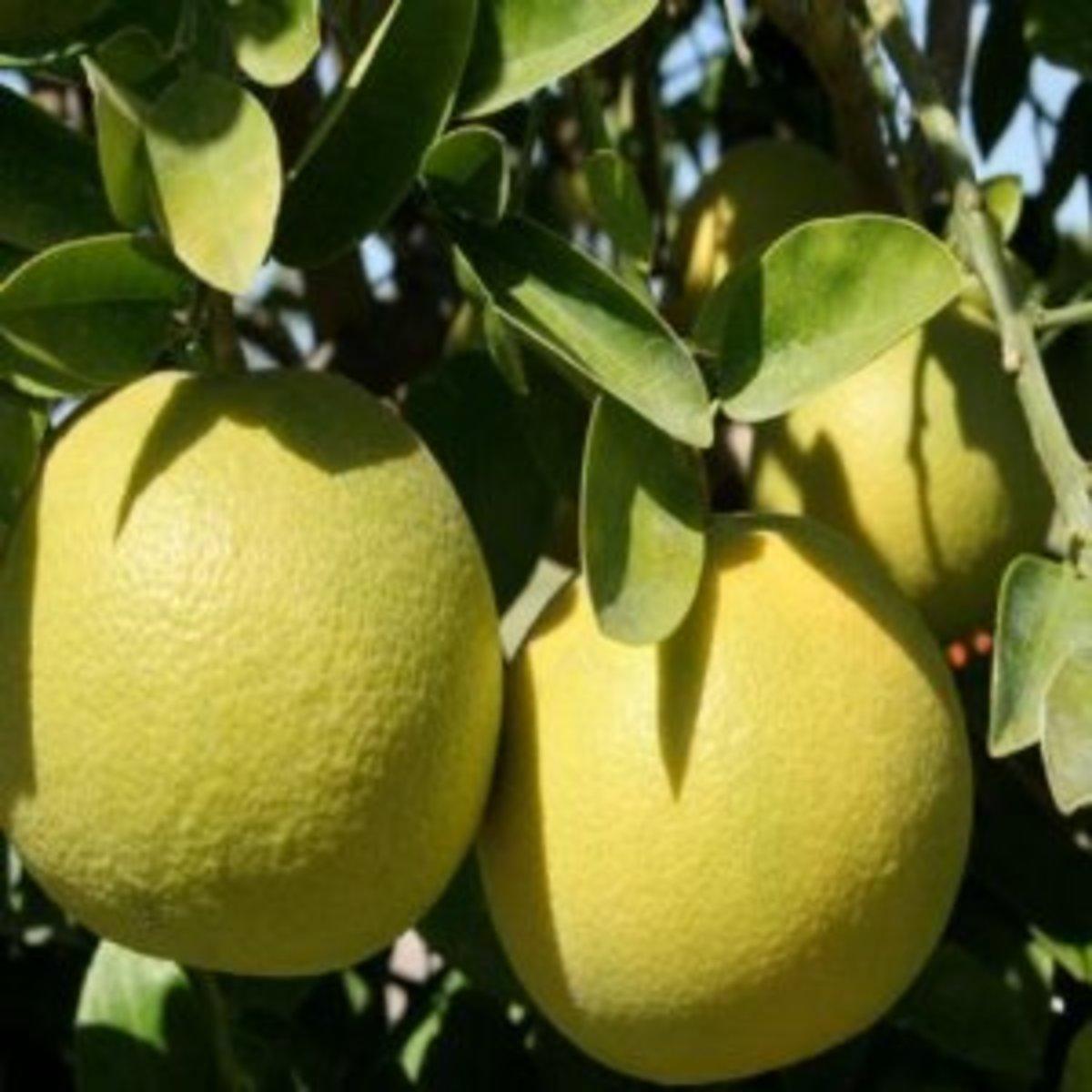 Ben3john photographed grapefruit growing in Kerala, India on October 17, 2012.