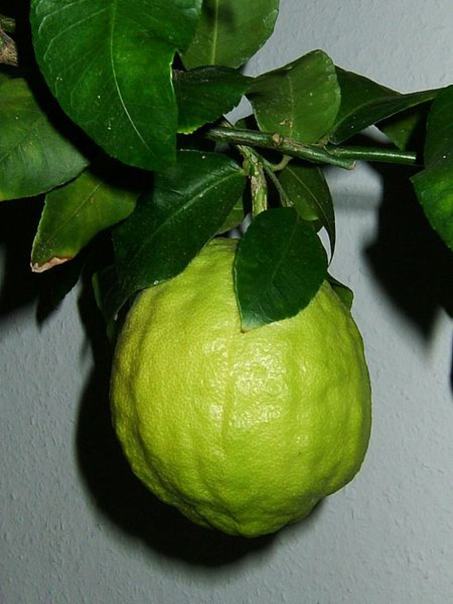 This citron was photographed by Klaus Reger on February 14, 2005.