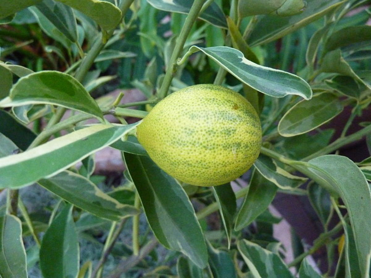 Kumquats—Citrus japonica 'Centennial Variegated'—were photographed in the Linnean House of the Missouri Botanical Garden by James Steakley on October  8, 2011.