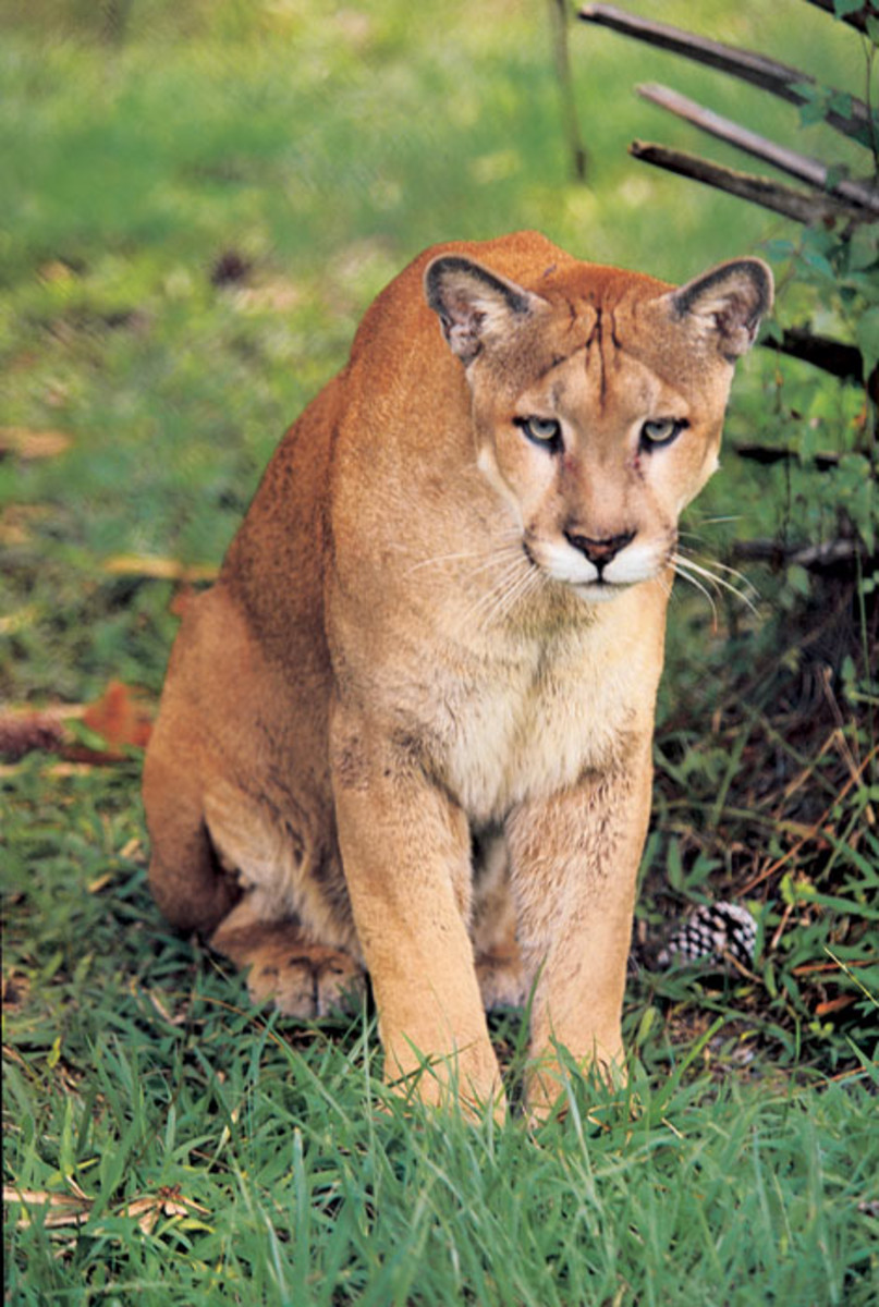 Florida Panthers in South Georgia? Videos Included!