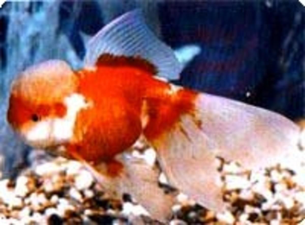 Oranda Red-White