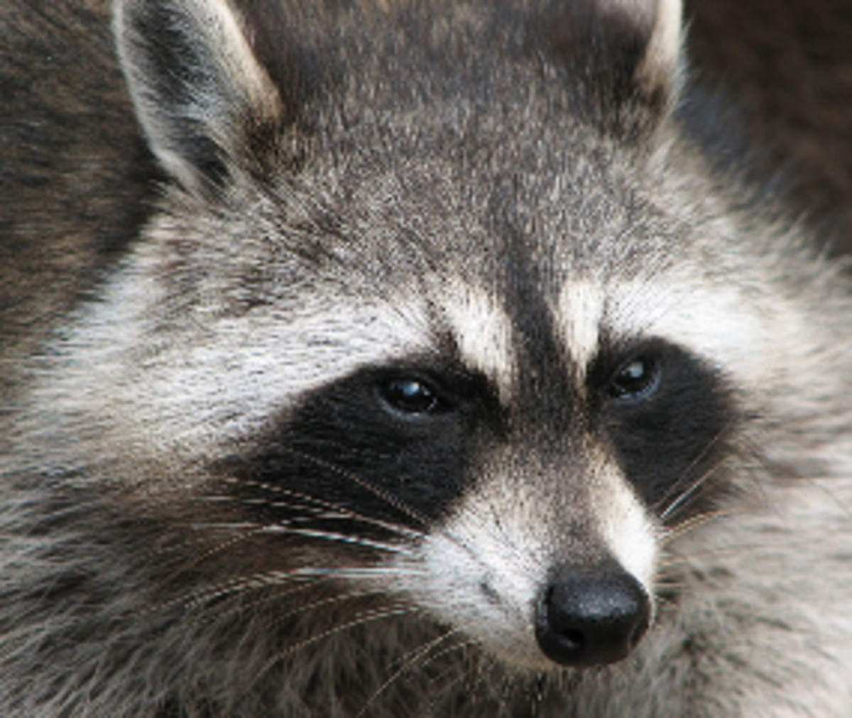 southern-cuisine-barbecued-coon