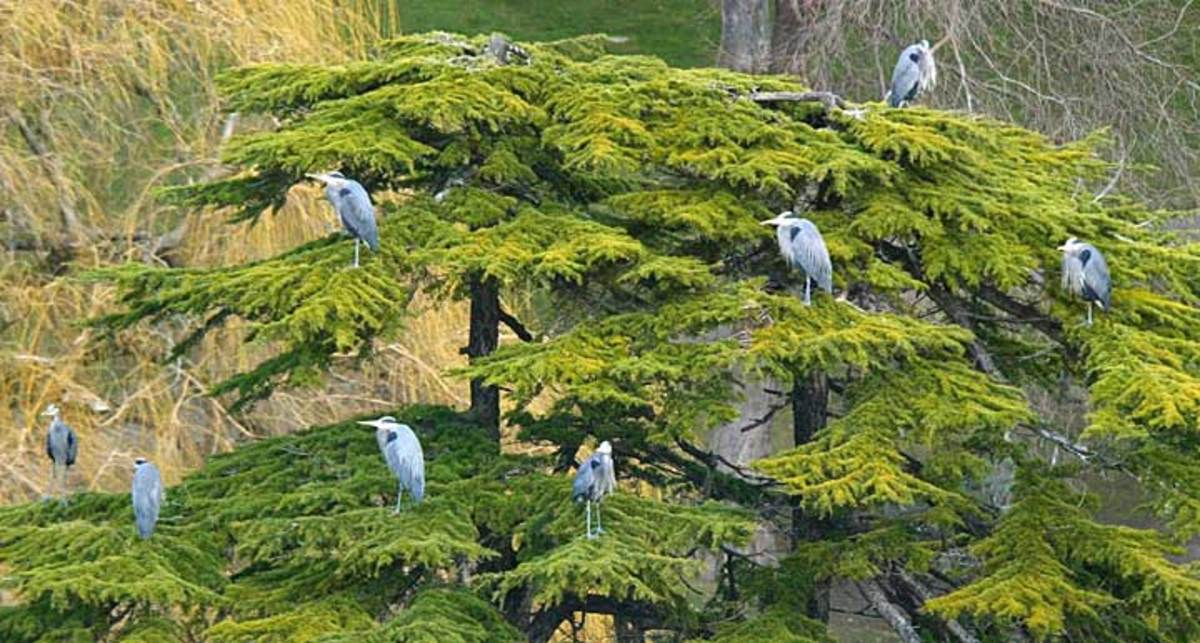 A treasured view of the Blue Heron Colony at Beacon Hill Park, which runs along the Douglas Street side of the park