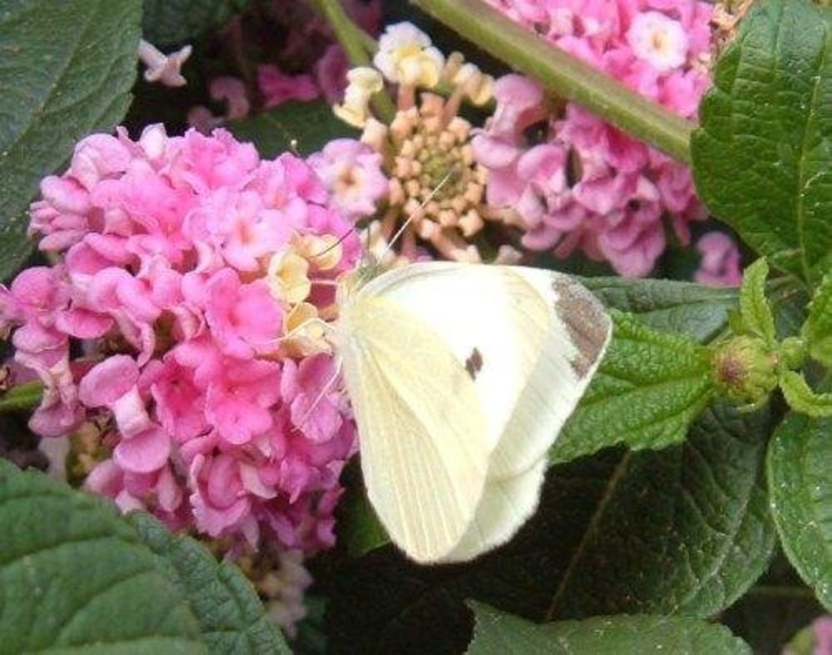 Small White on Lantana flower