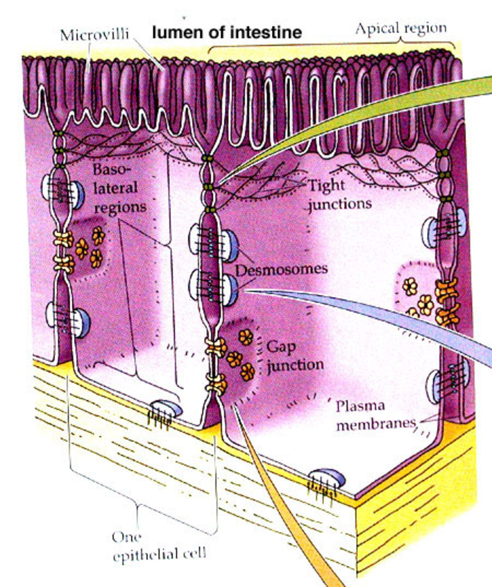Diagram showing the areas of tight junctions within a cell. This is one area where many nutrients and other substances are transported between cells.