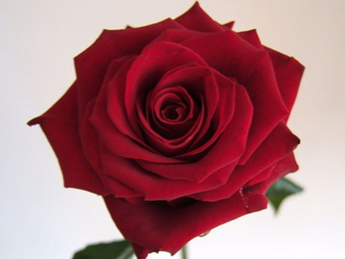 Roses: What Are The Meanings 0f  Different Coloured Roses?