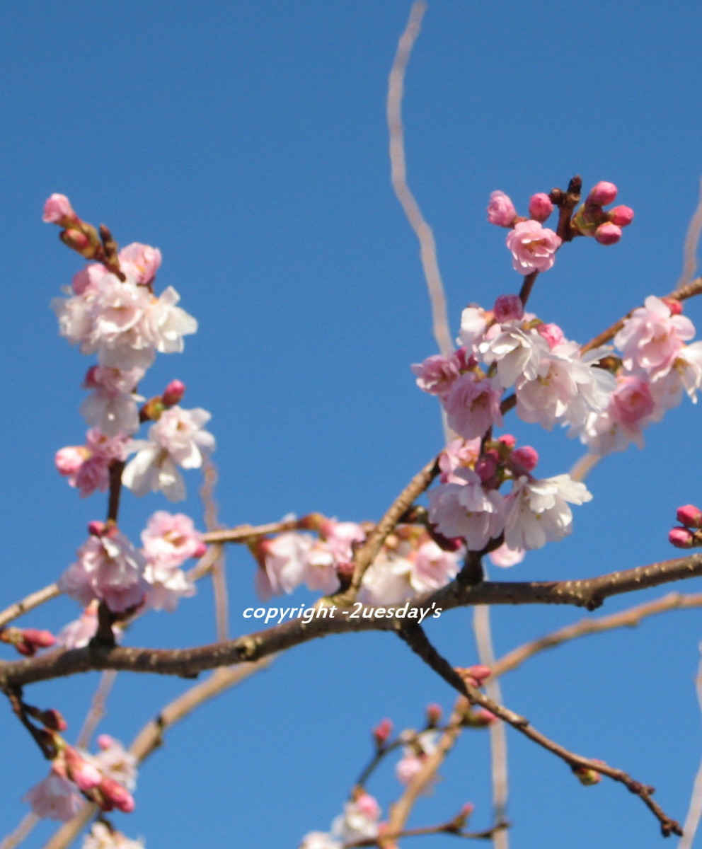 photo: spring time blossom