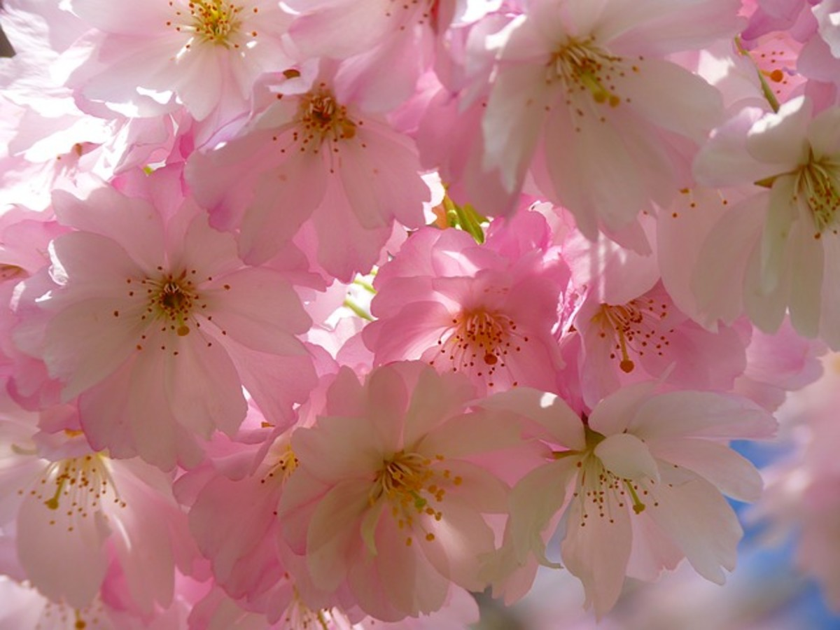 Japanese cherry tree - beautiful blossoms.